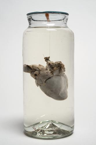 Preparaat van een hart