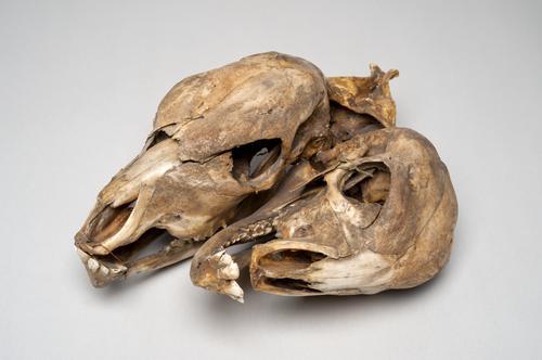 Dubbele schedel van veulen of kalf