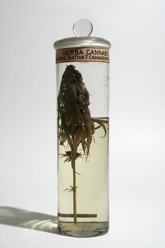 Vloeistofpreparaat van een tak met bladeren van de hennepplant