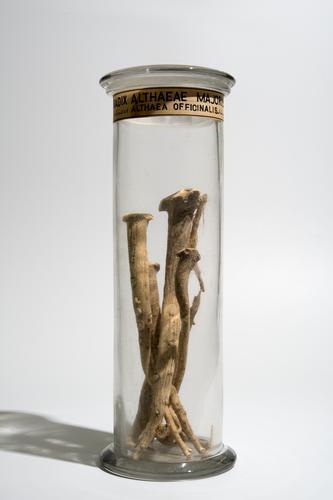 Droogpreparaat van stukken wortel van de echte heemst