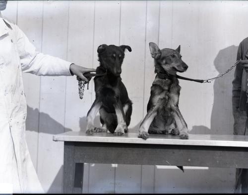 Twee jonge hondjes met rachitis