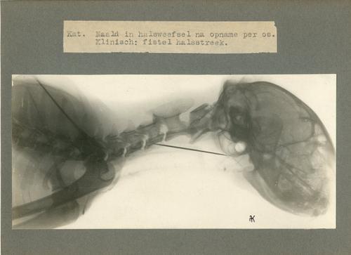 Röntgenfoto uit de Kliniek voor Kleine Huisdieren