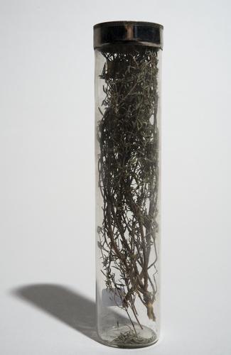 Herba Thymi