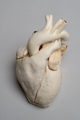 Gipsmodel van het menselijk hart