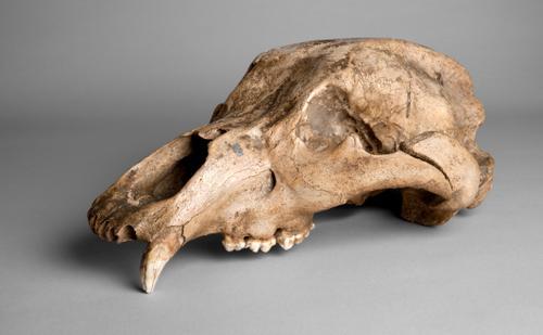 Droogpreparaat van een schedel van een holenbeer