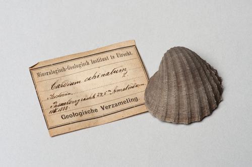 Gedoornde hartschelp, Acanthocardia echinata, gevonden bij een putboring in de Passeerdersgracht, Amsterdam
