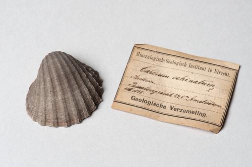 Schelp uit een boring in de Passeerdersgracht in Amsterdam