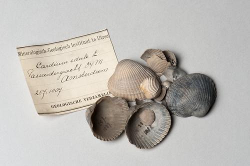 Schelpen, kokkels (Cerastoderma edule), uit een boring in de Passeerdersgracht, Amsterdam