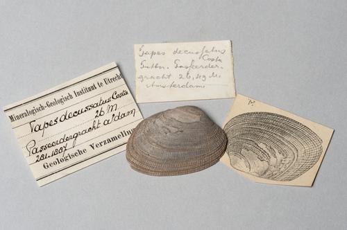 Schelp, Tapes decussatus, uit een boring in de Passeerdersgracht in Amsterdam