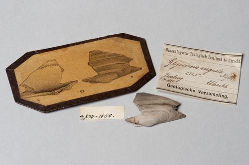 Deel van een schelp met beschrijving en tekening, uit een boring in Utrecht