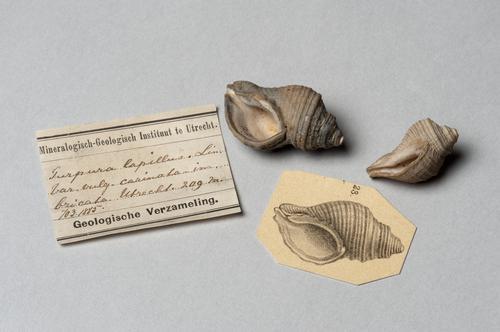 Fossiele purperslakken, Nucella lapillus, met beschrijving, uit een boring in Utrecht