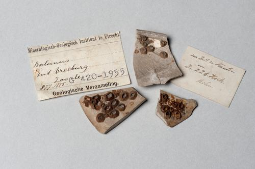 Balanus sp., een zeepok, op schelpfragmenten uit een boring in Utrecht