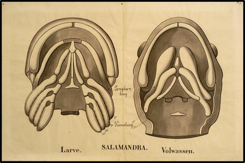 Tongbeen bij salamander