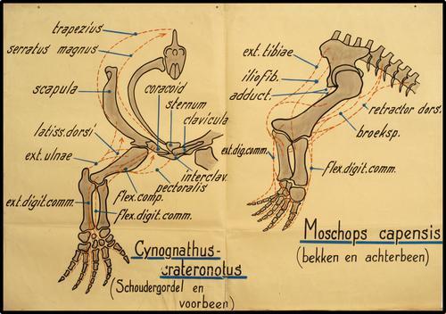 Schoudergordel en voorbeen