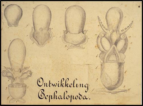 Ontwikkeling Cephalopoda
