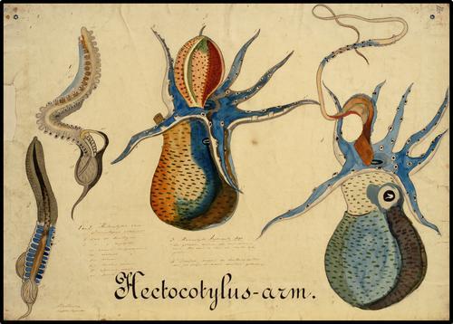 Hectocotylus-arm