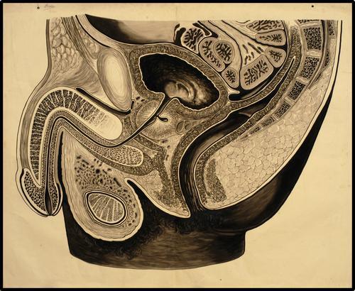 Doorsnede geslachtsorganen en anus