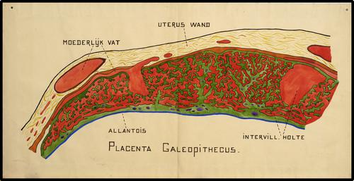 Placenta Galeopithecus