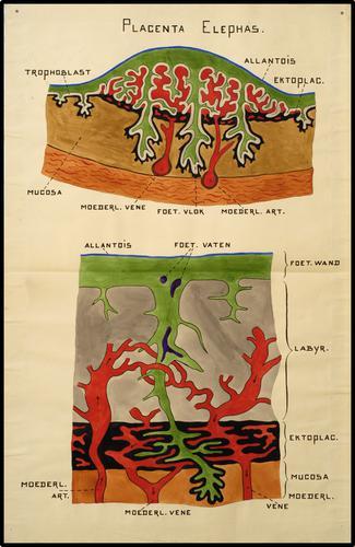 Placenta Elephas