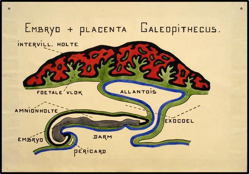 Embryo + Placenta Galeopithecus