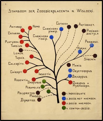 Stamboom der Zoogdier placenta