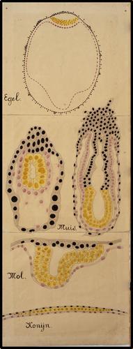 Vroege embryonale ontwikkelingsstadia van de egel, muis, mol en het konijn