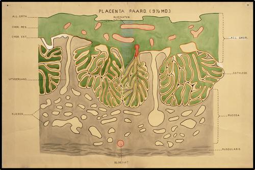 Placenta paard