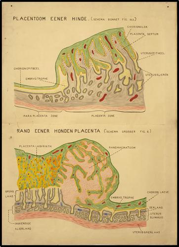 Placenta van hond en hinde