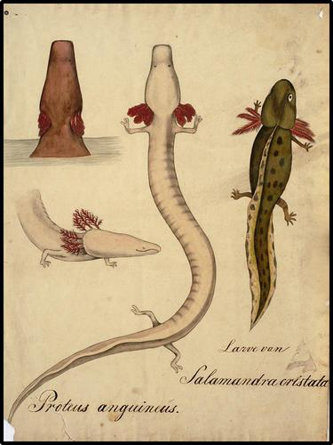 Larve van Salamander cristata