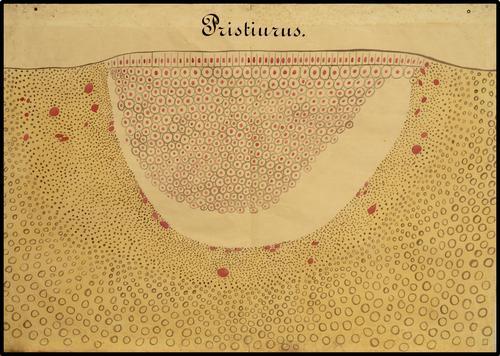 Pristirus