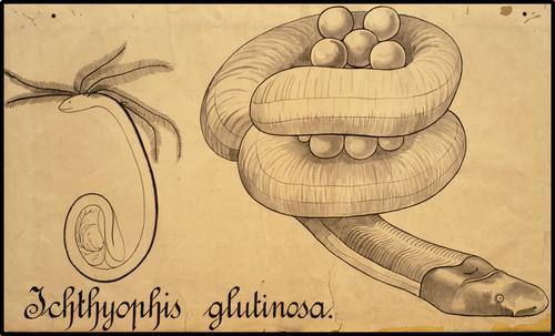 Ichthyophis glutinosa