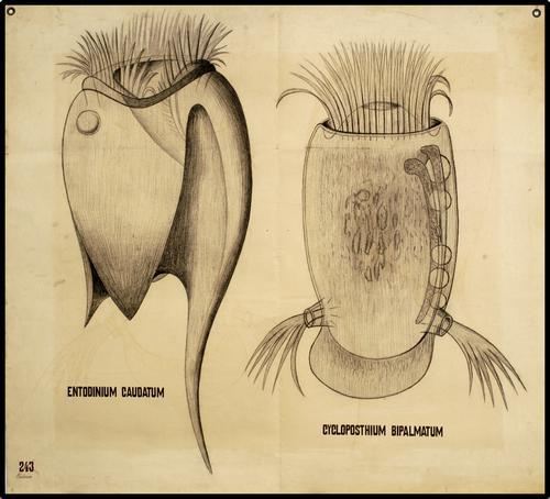 Entodinium caudatum: cyclopostium bipalmatum