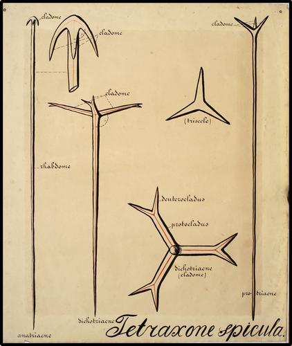 Tetraxone spicula
