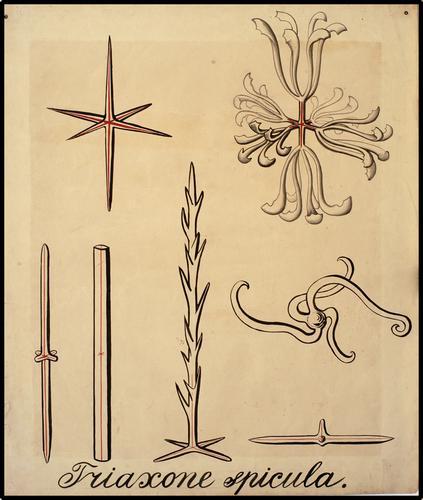 Triaxone spicula