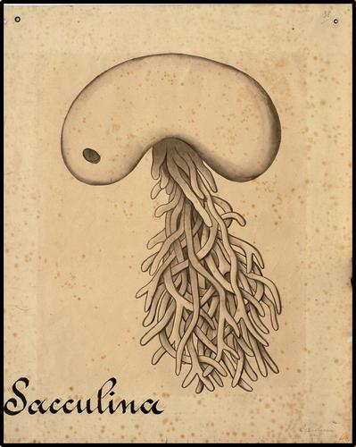 Sacculina