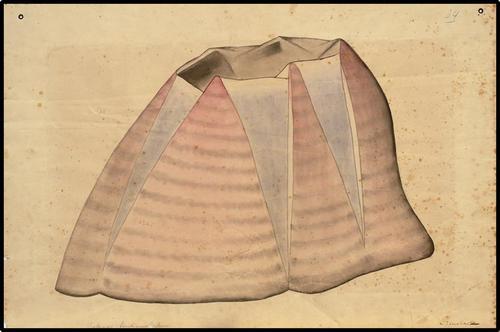Balanus tintinnabulum