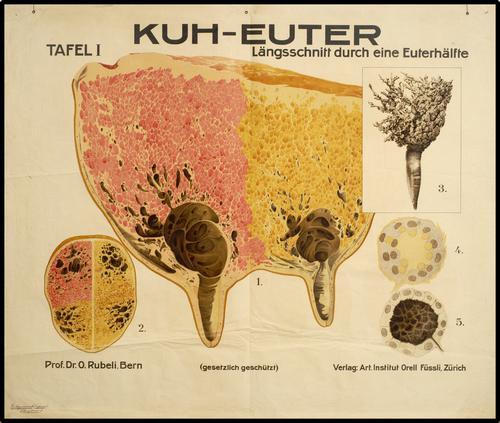 Kuh-euter