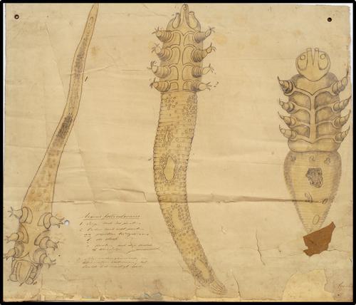 Acarus folliculorum