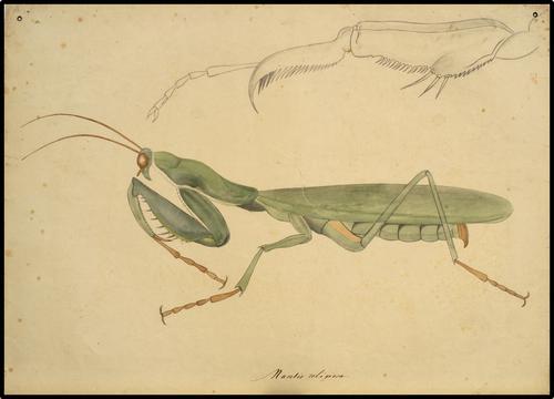 Scorpionidae