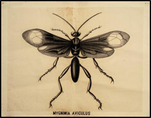 Mygnimia Aviculus