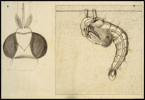 Kop van Hippobusca equi en kop van Culex pipiens