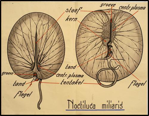 Noctiluca miliaris