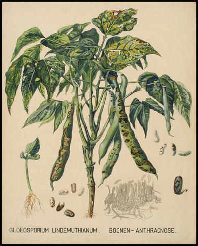 Gloeosporum Lindemuthianum. Boonen - Anthracnose