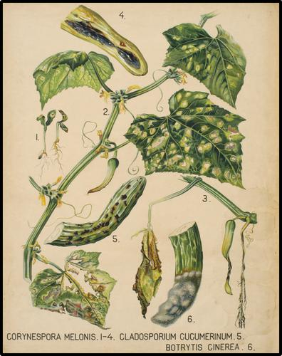 Corynespora Melonis 1-4. Cladosporium Cucumerinum 5. Botrytis Cinerea 6