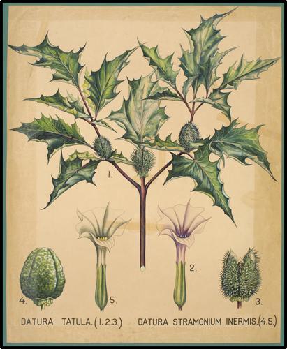 Datura Tatula (1. 2. 3.) Datura Stramonium Inermis (4. 5.)