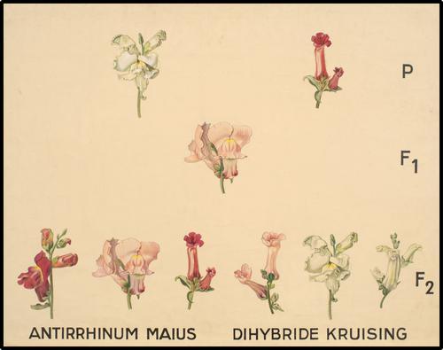 Antirrhinum Maius - Dihybride Kruising