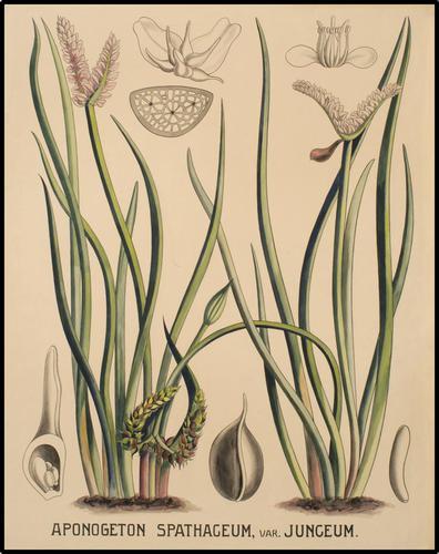 Aponogeton spathaceum, var. junceum