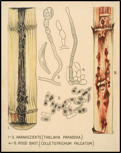 1-3 Ananasziekte (Thielavia Paradoxa.) 4-5 Rood Snot. (Colletotrichum Falcatum.)
