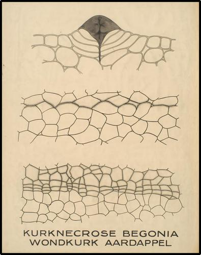Kurknecrose Begonia - Wondkurk Aardappel