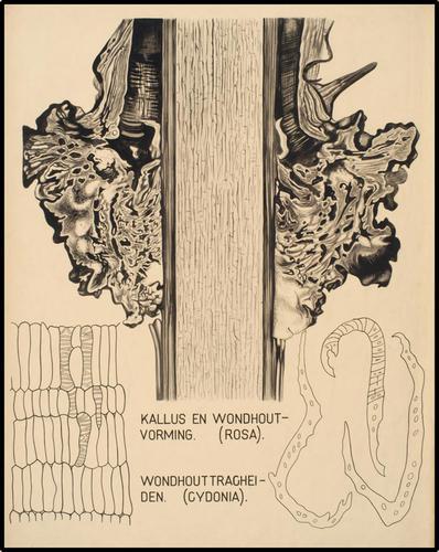 Kallus en Wondhoutvorming. (Rosa). Wondhouttracheiden (Cydonia)